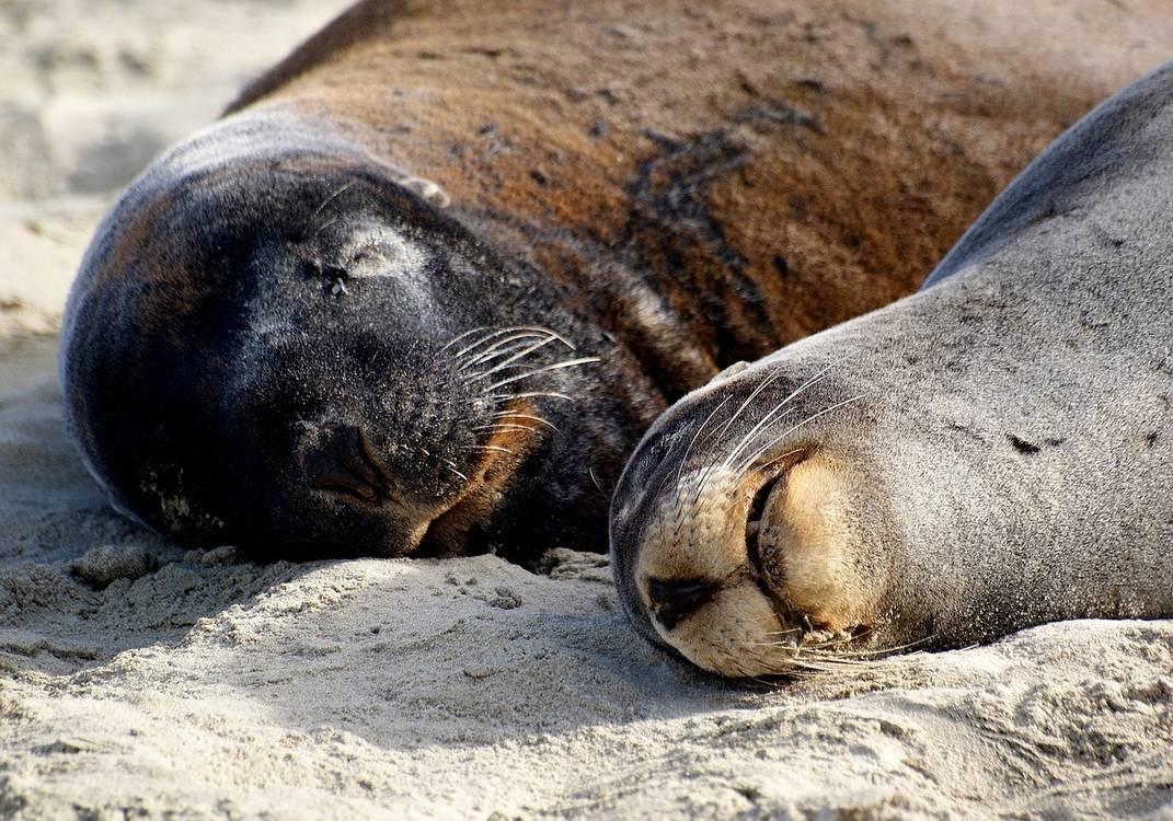 hookers-sea-lions-1744270_1280.jpg