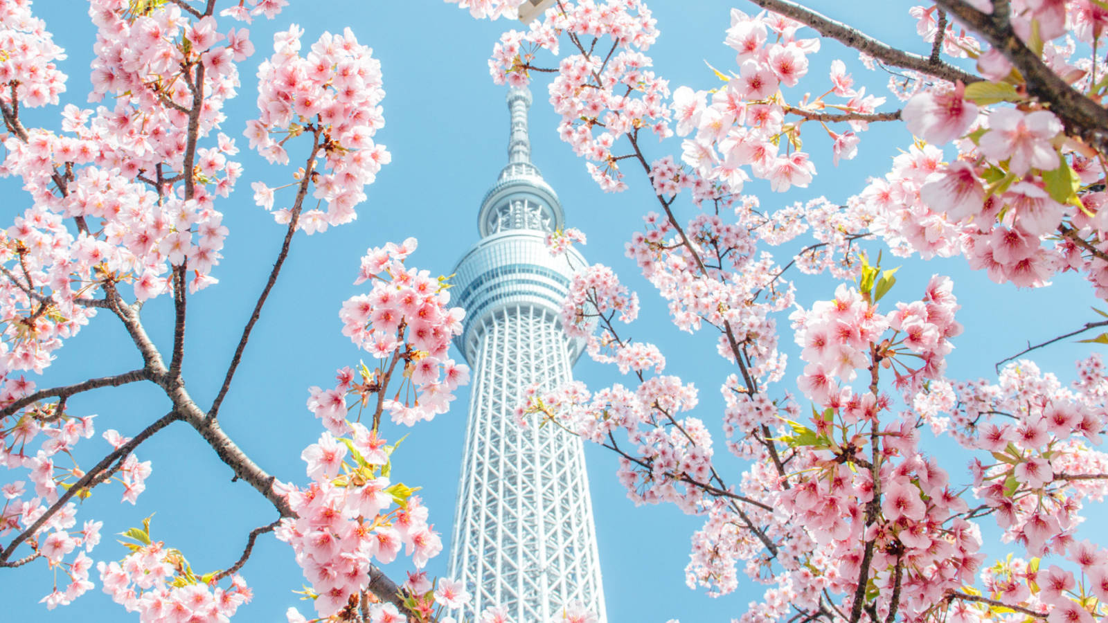 14 Night Japan Amp Russia Cruise Spring Flower Season 2020
